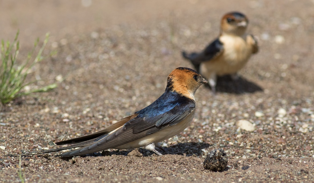Red Rumped Swallow Cyprus Birding Birdwatching tours ecotours birdlife wildlife