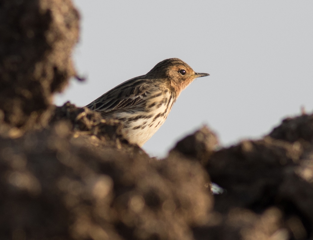 Red Throated Pipit Cyprus Birding Birdwatching tours ecotours birdlife wildlife
