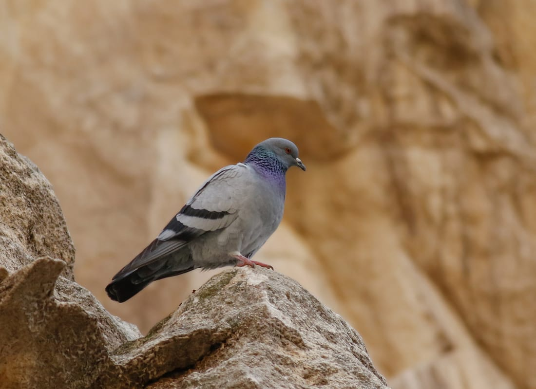 Rock Dove Cyprus Birding tours cyprus bird watching tours ecotours birdlife cyprus cyprus wildlife cyprus nature