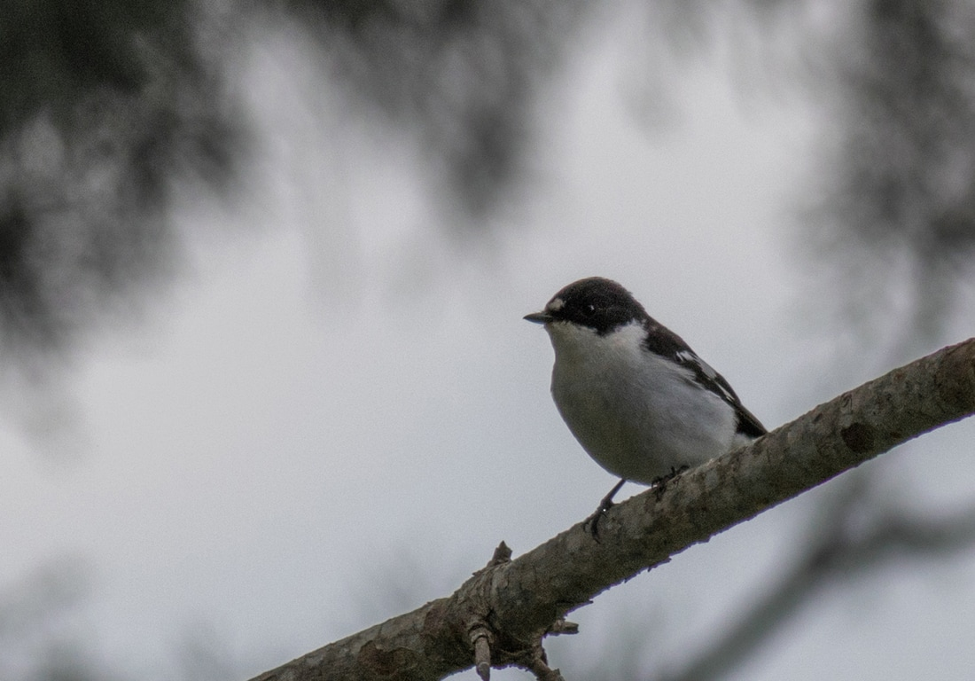 Semi Collared Flycacatcher Cyprus Birding Birdwatching tours ecotours birdlife wildlife