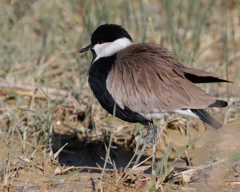 Spur-winged Lapwing Cyprus Birding tours cyprus bird watching tours ecotours birdlife cyprus cyprus wildlife cyprus nature