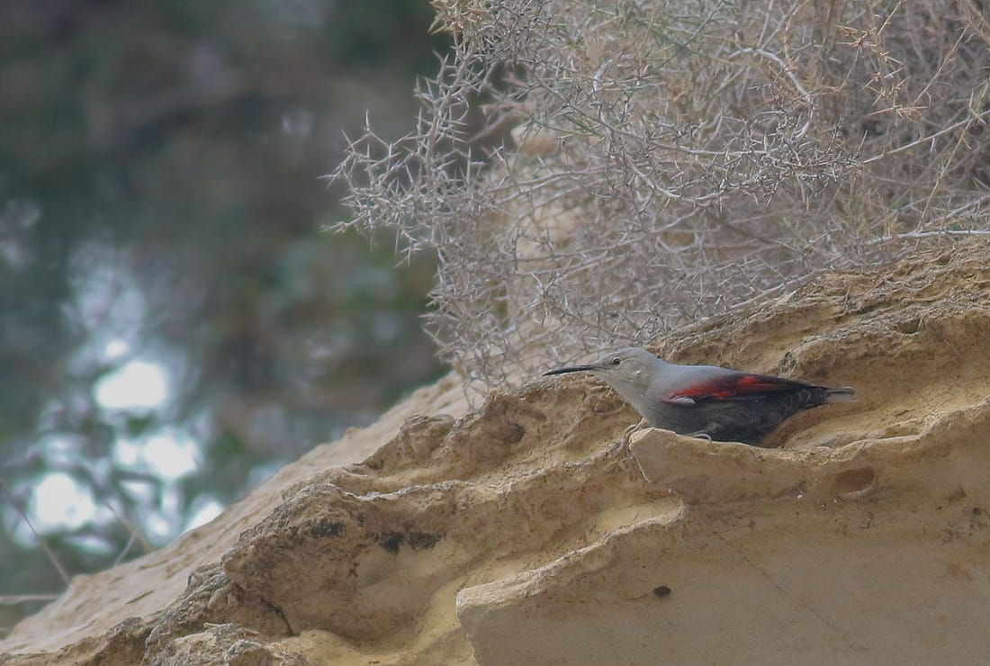 Wallcreeper Cyprus Birding tours cyprus bird watching tours ecotours birdlife cyprus cyprus wildlife cyprus nature