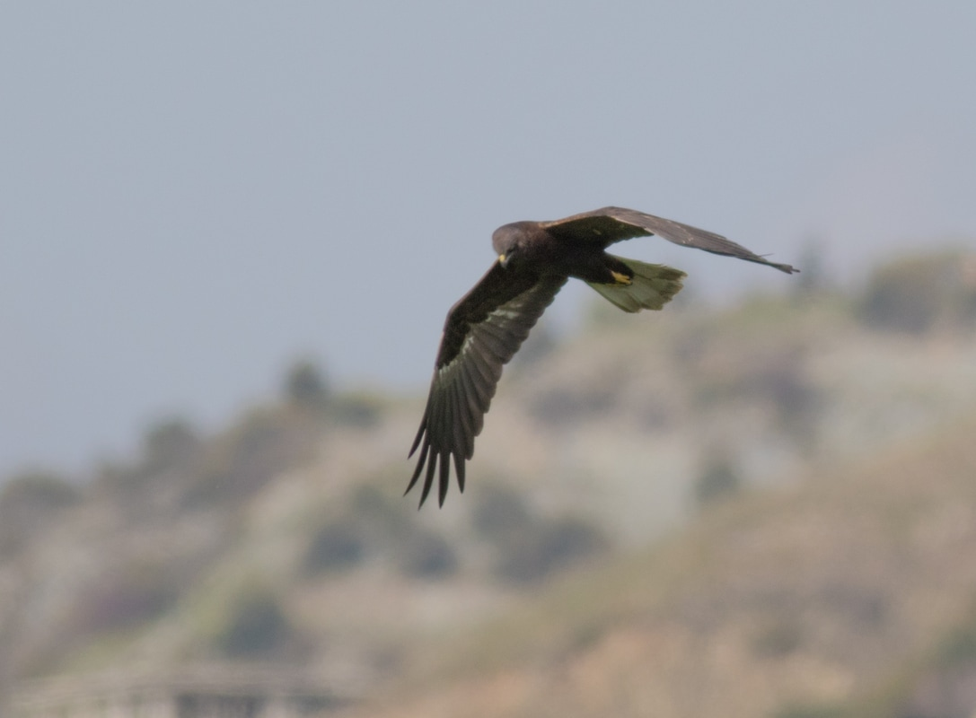 Western Marsh Harrier dark morph Cyprus Birding Birdwatching tours ecotours birdlife wildlife