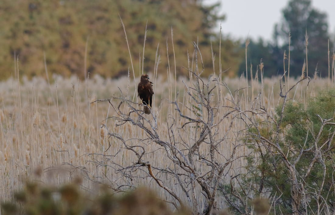Western Marsh Harrier Cyprus Birding tours cyprus bird watching tours ecotours birdlife cyprus cyprus wildlife cyprus nature