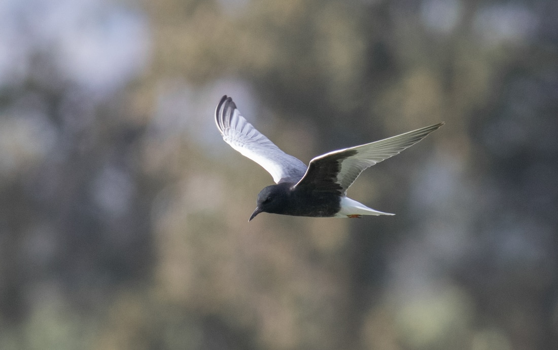 White winged Tern Cyprus Birding Birdwatching tours ecotours birdlife wildlife
