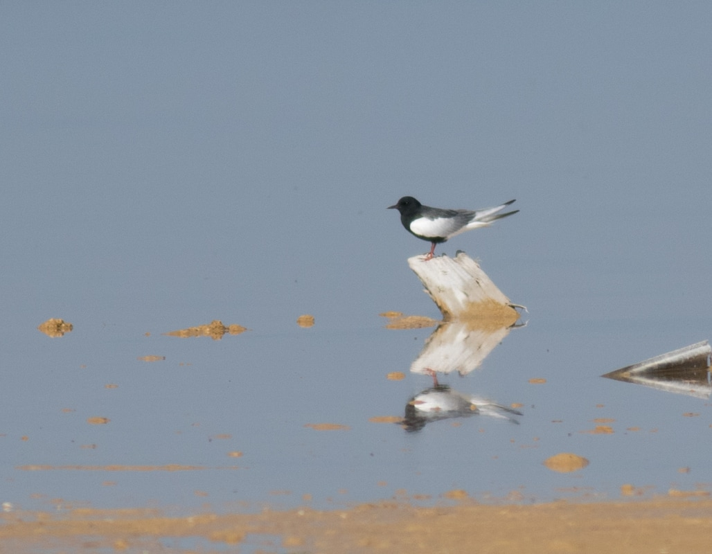 White-winged Tern Cyprus Birding Birdwatching tours ecotours birdlife wildlife