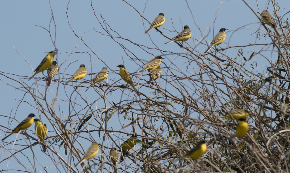 Black Headed Wagtail Yellow Cyprus Birding Birdwatching tours ecotours birdlife wildlife
